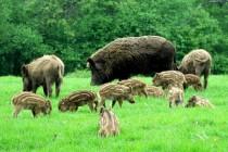 Mantes-la-Jolie : des sangliers rodent au Val Fourré