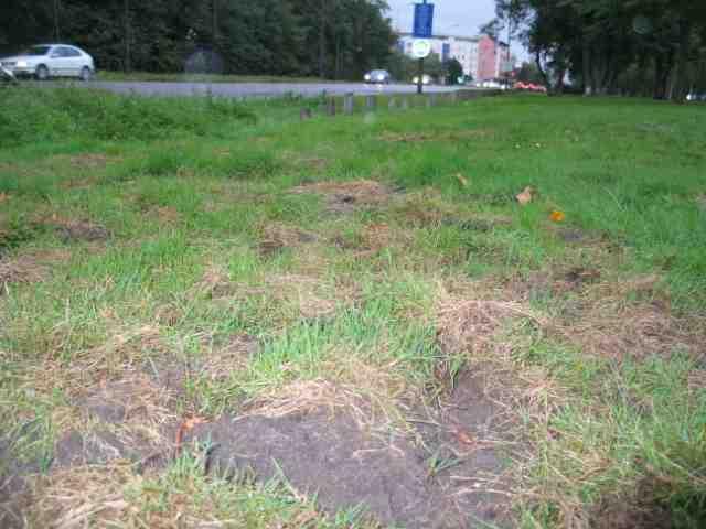 Mantes-la-Jolie, cet après-midi - Les pelouses qui longent la D113 ont été détruites par des sangliers (MA/Ab.N)