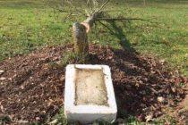Bientôt de nouveaux arbres de la laïcité à Magnanville, Rosny-sur-Seine, Limay et Mantes-la-Ville ?