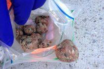 Bords de Seine Mantes : attention, il y a des boulettes empoisonnées sur les pelouses