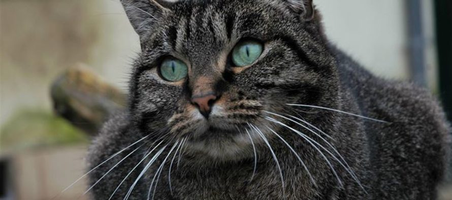 Cipam – Truffaut Buchelay : exposition de chats à adopter les 25 et 26 mai
