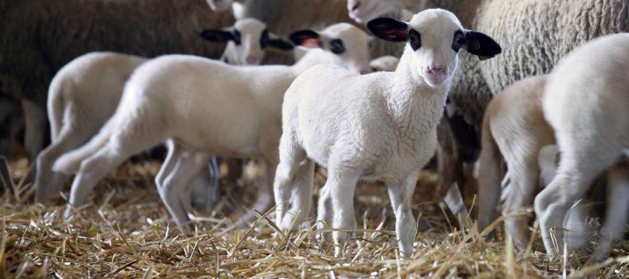 Aïd el-Kébir 2019: réservez votre agneau à 199 € chez Éco Prim Vernon