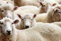 Aïd el-Kébir 2020 : réservez votre mouton à 230 € chez Éco Prim Vernon