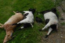 Île aux dames à Limay : deux chèvres tuées au couteau dans un jardin et volées