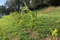 Mantes-la-Jolie : Le Clos des Vieilles Murailles inaugure ses nouvelles vignes