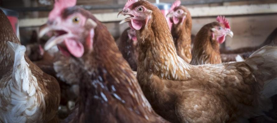 Grippe Aviaire : un foyer détecté dans les Yvelines