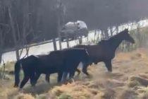 Rosny-sur-Seine : quatre chevaux s'échappent du château de Sully